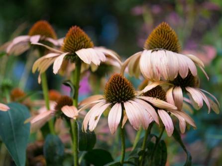 Echinacea-1390973