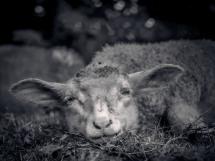 Schaf liegt