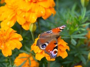 Schmetterling-1440484