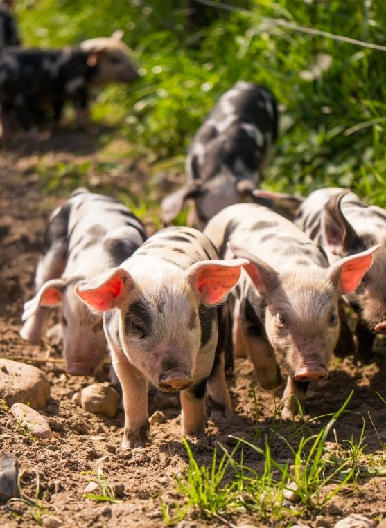 Warder Schweine-1420151