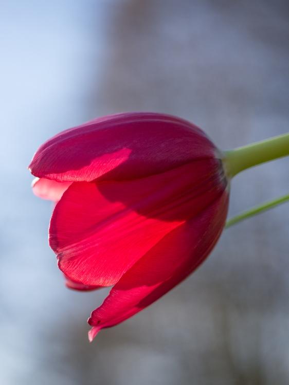 Tulpe-1500426