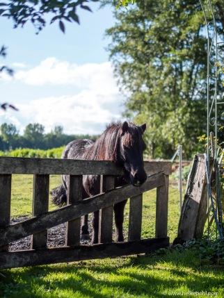 2018 - Fliegensommer. Doe Ponys halten tapfer durch.