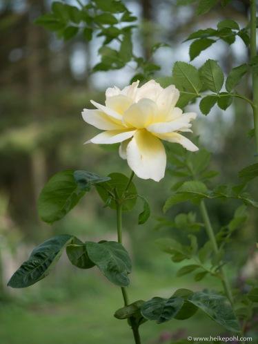 Rose-1066993