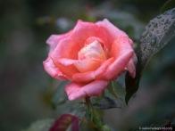 Rose-1077506